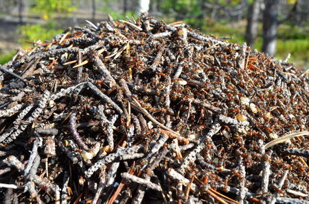 Fragment of large anthill in sunny autumn forest. Ants are preparing for wintering, they warm their dwelling with small dry branches and old pine needles, transfer the eggs and larvae to another place Stock fotó