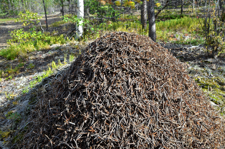 A large anthill in a sunny autumn forest. Ants are preparing for wintering, they warm their dwelling with small dry branches and fallen old pine needles