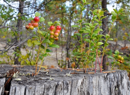 A craving for life. Creepers cranberries were able to grow in the cracks of the old stump Stock Photo