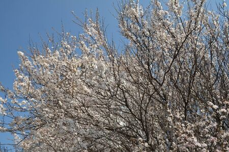 Spring flowering of fruit trees in southern Russia. Blooming cherry tree against a blue sky