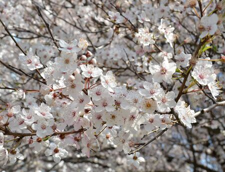Spring flowering of fruit trees. White-pink cherry flowers on a branch of a blossoming cherry tree. Close-up