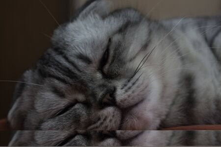 A gray cat of Scottish breed sleeps on a sofa. Close-up muzzle of a gray cat of Scottish breed.