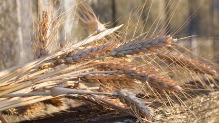Spike's of ripened wheat lie on a wooden bench. The spikelet of ripened wheat in the glare of the sun. Stock Photo