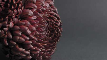 Beautiful unusual Chrysanthemum flower on a gray background.Fantastic purple chrysanthemum on a dark background.