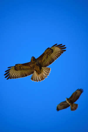 Two Eagles Flying High into the Sky