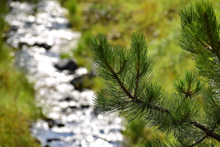 Wet pine tree with water stream reflection in the background Archivio Fotografico