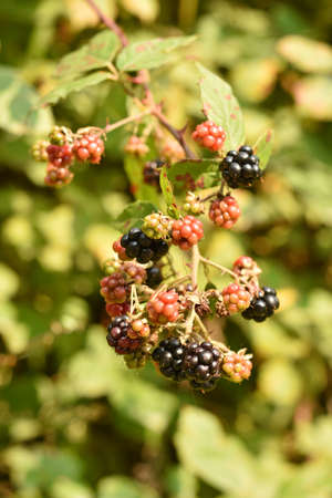 bramble: Fresh blackbarries with green background