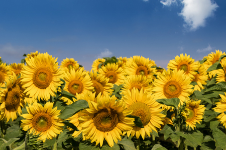 yellow  green: Field with blossoming sunflowers on blue sky background