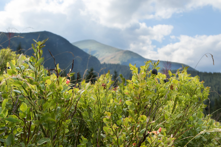 blueberry bushes: Blueberry bushes with berries on a background of mountains and cloudy sky
