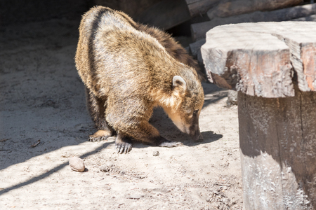 South American coati Nasua nasua, also known as the ring-tailed coati. Looking for food on the ground