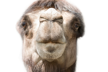 arab beast: Head of a camel close-up full face with the nose in the sharpness and blurred eyes isolated on white background