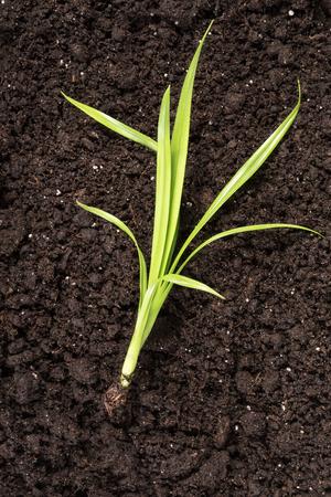 black soil: Little green sprout on black soil lying close-up