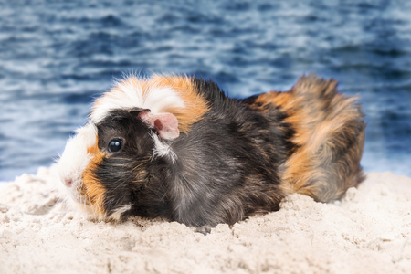 Multicolored beautiful guinea pig standing on wet sand on the seashore Stock Photo