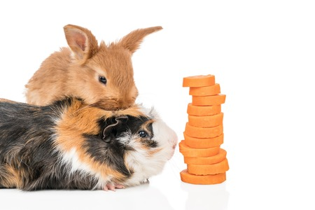 Beautiful redheaded rabbit is sitting on a guinea pig who is about to eat a carrots cut, isolated on a white background