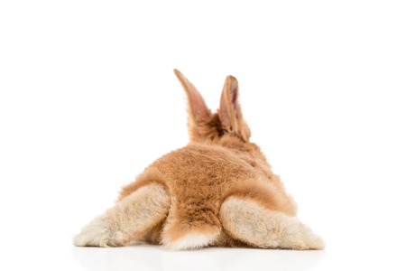 Small red rabbit lying on his stomach apart legs to the side, rear view, isolated on white background