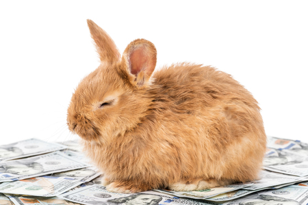 Beautiful fluffy red bunny lies on dollars with closed eyes, isolated on white background Stock Photo