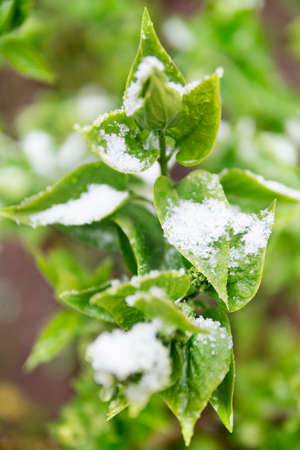 snowy field: Green spring leaves in the snow close-up with blurred background Stock Photo