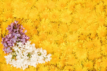 Beautiful background of two branches of lilac lying on yellow dandelion flowers, located one near the other