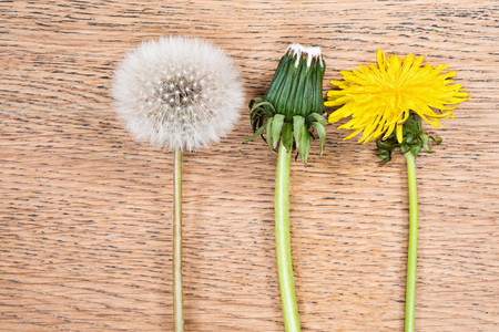 principal: Three dandelions in different phases of flowering on a wooden table