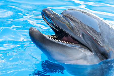 bottlenose: Dolphin stuck his nose out of the mouth and opened his mouth, close-up, portrait