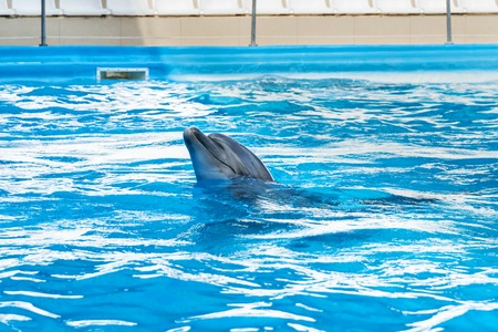 Portrait of a beautiful gray dolphin, emerged from the water in the pool for performances Stock Photo
