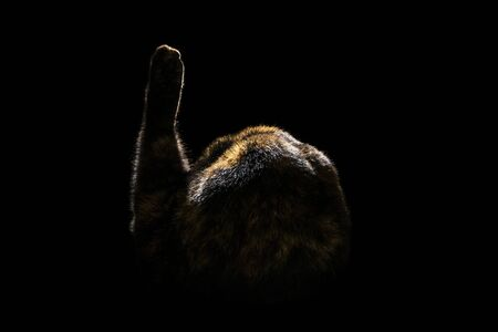 cat is brushing away from the camera and lifting up its paw, isolated on black background