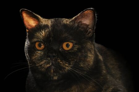 Closeup portrait of a beautiful scottish breed cat isolated on black background