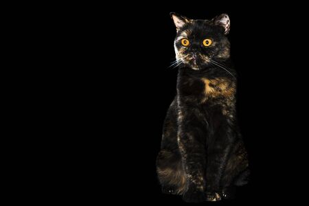 portrait of a beautiful spotted cat sitting and looking to the side, isolated on a black background
