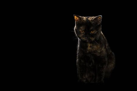 portrait of a spotted cat of scottish breed isolated on black background