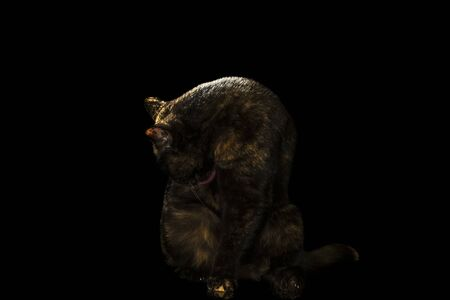 spotted black and red Scottish cat washing its side sitting on the floor, isolated on black background