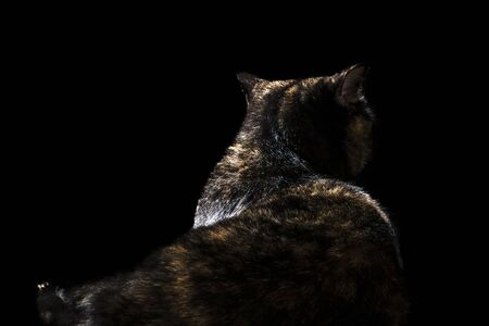Beautiful cat of scottish breed lies with his back to the camera isolated on black background Banco de Imagens