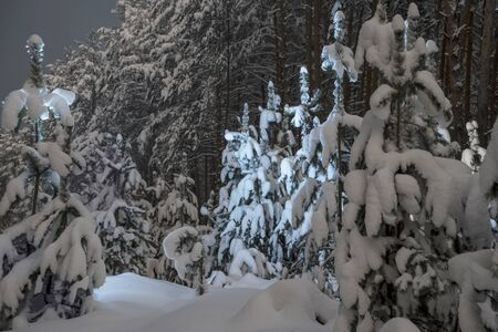 light on the snow-covered pines in the night winter forest