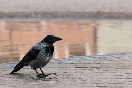 Crow on a sewer hatch on a cobblestone pavement near a puddle Banco de Imagens