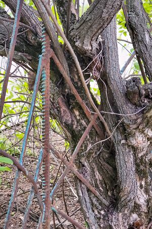 tree grows through an old rusty fence, twining it with branches, close-up