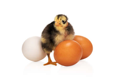 ugly black and yellow chicken stands among eggs isolated on white background