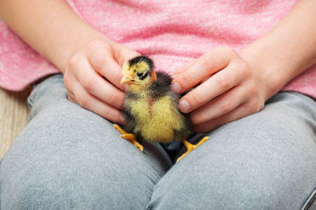 child holding a little ugly chick on your lap Standard-Bild