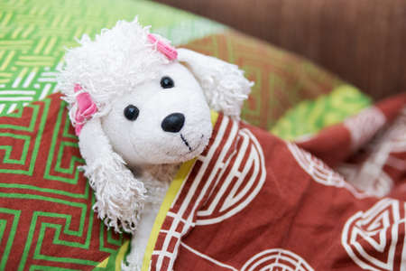 Toy white dog poodle breed lies under the blanket in bed