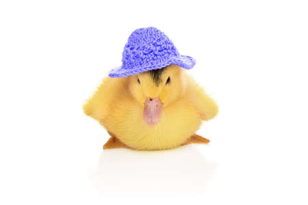 portrait of a small beautiful yellow duckling in a blue hat isolated on white background