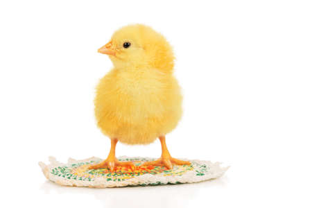 little beautiful yellow chicken stands on a rug isolated on white background