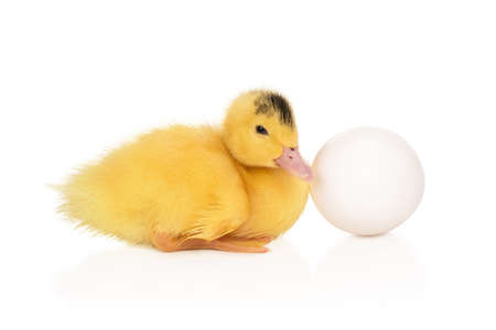 Beautiful little yellow duckling next to a big white egg isolated on a white background
