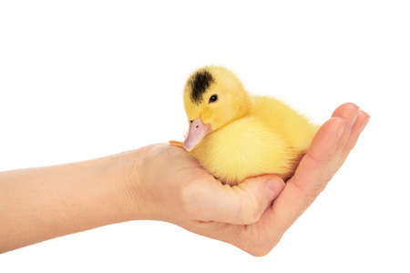 little beautiful yellow duckling in a female hand isolated on white background