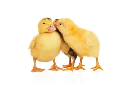 cute duckling and chickens near Standard-Bild