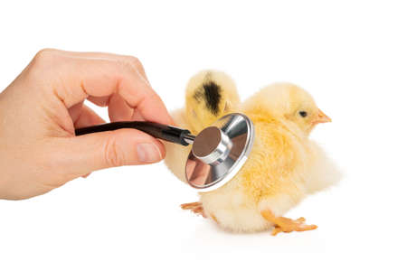 checking chicks with a stethoscope