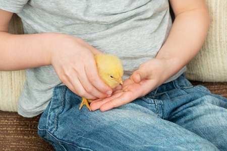 chick in children hands, close-up