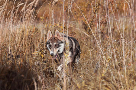 cynology: Laika hunting for prey a portrait of autumn walk Stock Photo