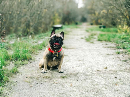 A French bulldog hides behind a log in the forest. Banco de Imagens
