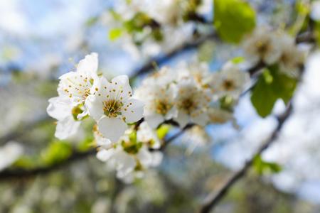 spring white blossom against blue sky, flower, fresh