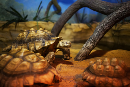 A large swamp turtle sits in the terrarium. 写真素材