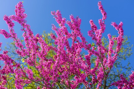 Pink Sakura flower thailand blooming. A tree with scarlet flowers