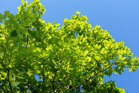 Green oak leaves against the blue sky with clouds.
